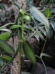 Vanille (Vanilla planifolia cv. variegata)