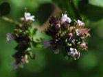 Fleurs de marjolaine