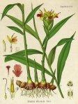 Zingiber officinale - Köhler's Medizinal-Pflanzen