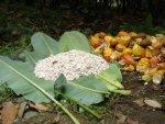 Fèves tout juste extraites de la cabosse, qu'on appelle cacao gomme
