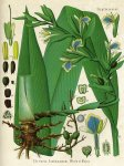 Elettaria cardamomum -  Köhler's Medizinal Pflanzen (Scan FoodAvenue)