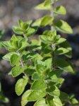 Origan crétois (Origanum onites)